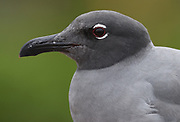 Portrait of a lava gull or dusky gull (Leucophaeus fuliginosus), said to be the rarest gull in the world, is endemic to the Galapagos Islands. Puerto Baquerizo Moreno, San Cristobal, Galapagos, Ecuador.