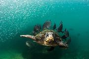 Green Turtle (Chelonia mydas agassisi) cleaning station with Dusky chubs (Girella freminvillei)<br /> Puerto Egas, Santiago Island<br /> Galapagos<br /> Ecuador, South America