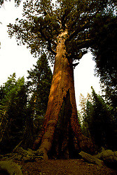 CA: Yosemite National Park, Wawona Sequoia Grizzly Giant tree         .Photo Copyright: Lee Foster, lee@fostertravel.com, www.fostertravel.com, (510) 549-2202.cayose219