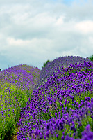 The Cotswald lavender farm  reopens after the uk goverment has relaxed the lockdown rules.