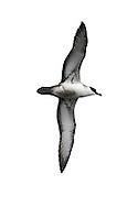 Great Shearwater - Ardenna gravis