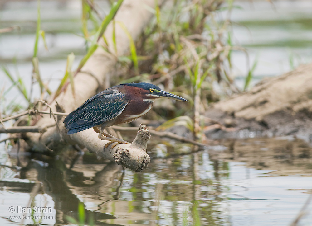 Green heron, Butorides virescens, perched on a branch in the Tarcoles River, Costa Rica