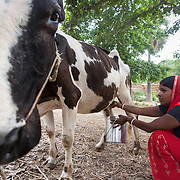 CAPTION: Seema Devi milks her cow. In the absence of reliable and affordable power, storage of milk poses a problem for small-scale dairy entrepreneurs on the island. LOCATION: Singhilpur, Saran District, Bihar, India. INDIVIDUAL(S) PHOTOGRAPHED: Seema Devi.