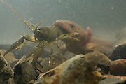 Neotenic or paedomorphic adult pacific giant salamander (Dicamptodon tenebrosus) ingesting a signal crayfish (Pacifastacus leniusculus). Salamanders are aggressive predators and will attack and eat various large prey. Photographed in the Columbia River Gorge, Oregon.