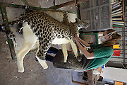 """legal Taxidermy In Namibian<br /> <br /> If you who want to take your self-shot elephant, leopard or giraffe as a trophy  home, you can visit the white Namibian Louw Mel, just outside Windhoek. He and his 45 professional support staff  will stuff your elephant for around EUR 38,000. But not only an elephant, also a giraffe (8500 euros), leopard (1800 euros), rhino (14,000 euros) or alligator (328 euro/per meter) Louw and his men transforms in a true work of art. At the door of Louw's office hangs a price list on which the 35 most popular species are listed. Taxidermy is legal in Namibia and very popular among hunters. In his workshop, hundreds of stuffed animals waiting to be shipped to the hunters who have shot them. The hunters are mostly white foreigners. Every week dozens of hunters, mainly wealthy Germans and Americans dressed in khaki safari outfit visit one of the many private nature reserves owned by white farmers for big game hunting. An average private property is as large as 5000 ha, where many wild animals live. A hunter must obtain permission (cost: 10 euros) from the Namibian Nature conservation and there is an official quota for the number of animals per species that can be killed. """"But in practice, things are not so strict' a Namibian hunting guide tells me. """"If you have enough money and you pay the owner of the private nature park, you can usually shoot what you want. So apart from the costs of stuffing the animal, the hunter must also pay the landowner for allowing to shoot  wildlife. For permission to kill an elephant is around 20,000 euros, for an leopard 7000 euros, a lion 15.000 euros and an antilope 1500 euros. So, in order to get that self-shot elephant in your living room in Berlin, it will cost you around 60,000 euros (38,000 euros for stuffing, 20,000 euros for shooting and 2000 euros for transport to germany). Once a hunter has killed an animal, he brings it to a taxidermist such as Louw for the animal to mount. Louw stuffs arount 6000 an"""