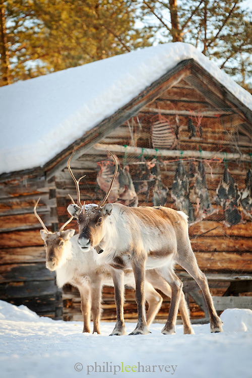 Reindeer on a homestead farm, National Park, Lapland, Finland.
