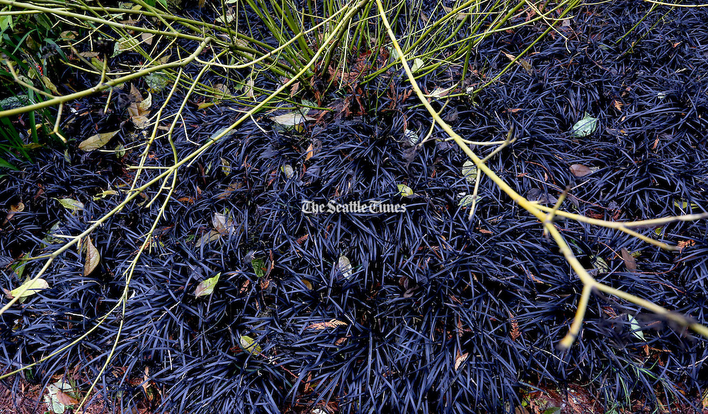 Mondo grass makes a bold groundcover statement with its black, purplish colors. (Alan Berner/The Seattle Times)