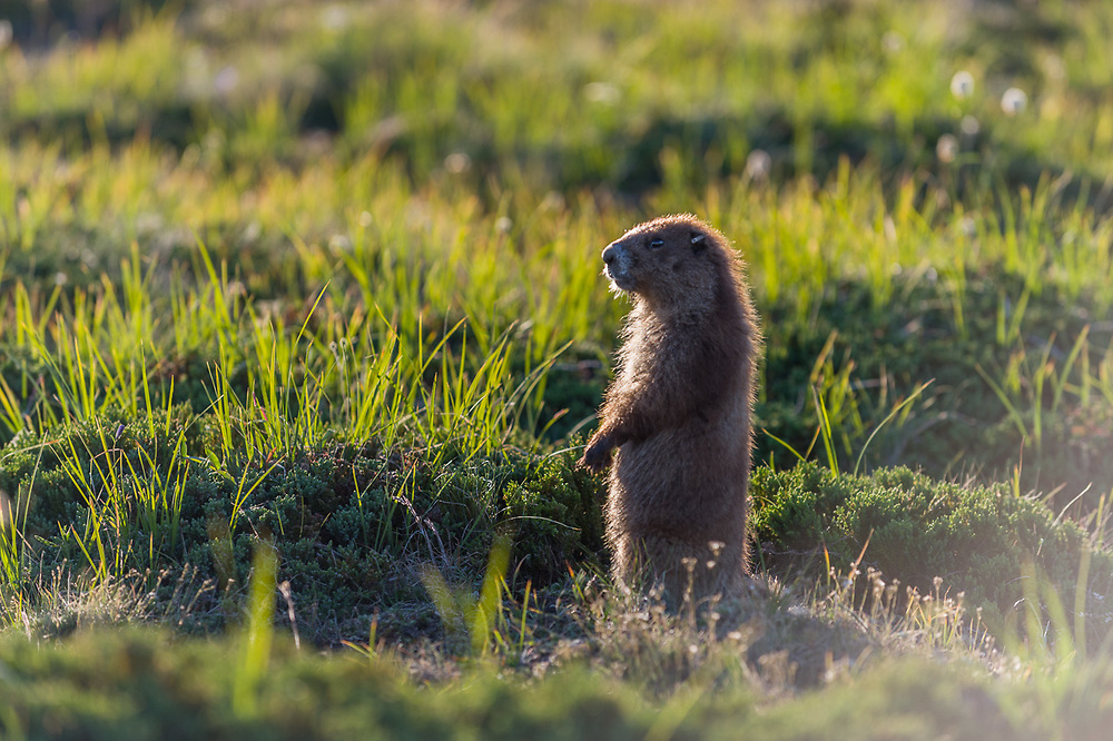 Olympic marmot (Marmota olympus),   endemic species, alpine meadow, August, Olympic National Park, Washington, USA
