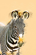 Digitally enhanced image Grevys Zebra, Equus gevyi, Photographed at Samburu National Reserve, Kenya