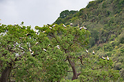 Yellow-billed stork (Mycteria ibis) nesting colony. This large wading bird is found in Africa south of the Sahara. It uses its long bill to catch fish and other prey in water. Photographed at Lake Manyara, Tanzania in April