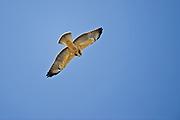 Swainson's hawk (Buteo swainsoni) hovering over the Badlands<br />Avonlea<br />Saskatchewan<br />Canada