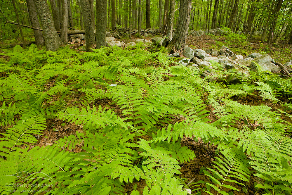 Ferns cover the forest floor at the Pell Farm in Grafton, Massachusetts. Stone wall.