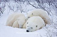 01874-11619 Polar Bears (Ursus maritimus) female and 2 cubs, Churchill Wildlife Management Area,  MB