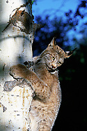 Lynx clings to aspen trunk and looks down as if about to jump down. (This animal was born and raised in captivity, photographed in an outdoor setting in Idaho.) © David A. Ponton