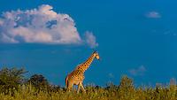 Giraffe, Kwando Concession, Linyanti Marshes, Botswana.