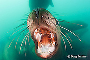 open mouth threat display by young Steller's sea lion, or Steller sea lion, or northern sea lion, Eumetopias jubatus (an Endangered Species in the western part of its range, and Threatened in the eastern portion), Glacier Island, Columbia Bay, Alaska, United States of America, ( Prince William Sound )