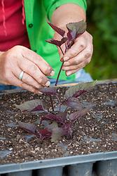Taking cuttings from eupatorium