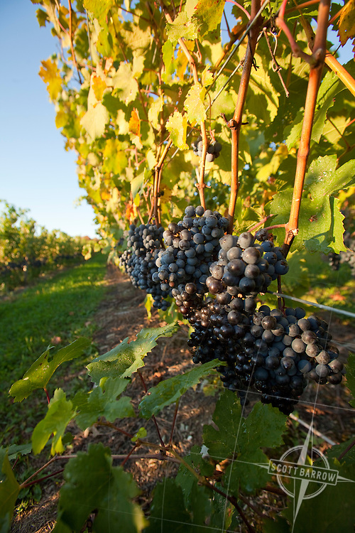 Grapes on the vine for red varietal wines