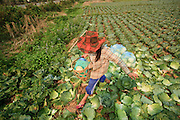Mar. 13, 2009 -- VANG VIENG, LAOS: A woman harvests cabbage from her fields near Vang Vieng, Laos.  Photo by Jack Kurtz