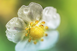 THEMENBILD - eine Erdbeerblüte mit Wassertropfen in Nahaufnahme, aufgenommen am 21. Mai 2019, Kaprun, Österreich // a strawberry blossom with water drops in close-up view on 2019/05/21, Kaprun, Austria. EXPA Pictures © 2019, PhotoCredit: EXPA/ Stefanie Oberhauser