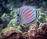 Reef fish Hawaii, Big Island
