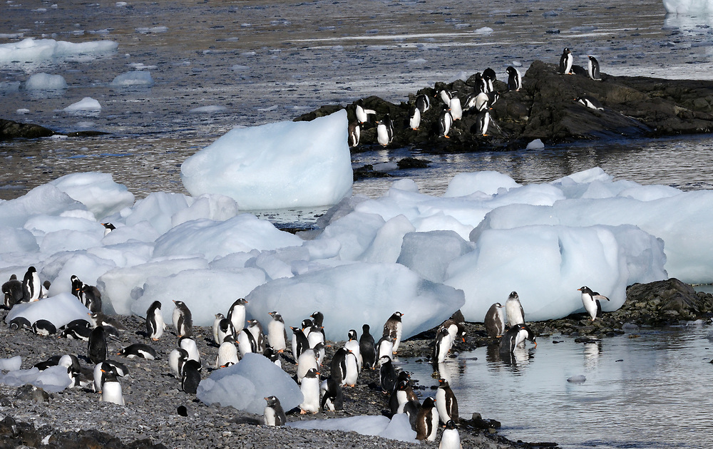 Moulting young  and adult gentoo penguins (Pygoscelis papua) on the beach below their nesting colony.  Hope Bay, Antarctic Peninsula, Antarctica. 02Mar16