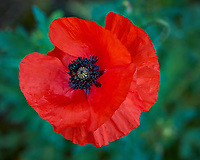 Red Poppy flower. Backyard spring nature in New Jersey. Image taken with a Fuji X-T1 camera and 60 mm f/2.4 macro lens (ISO 200, 60 mm, f/4, 1/105 sec).