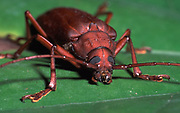 Rainforest Beetle, Coleoptera sp., Belize, head on showing eyes and antenna, red/brown on leaf