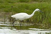 Little Egret, Egretta garzetta, Elmley National Nature Reserve, UK, fishing, grazing marsh, ditch, adult, spring
