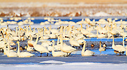Swans at Freezout Lake during spring migration, Montana.