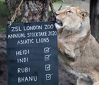 Asiatic Lion at the ZSL London Zoo Annual Stocktake in London, England. Thursday 2nd January 2020