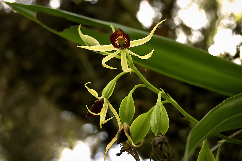 """Clamshell orchid that has been pollenated, these """"fruits"""" will eventually ripen, and split, releasing their seeds to catch the wind and hopefully land in a suitable place to become another of these flowering beauties."""