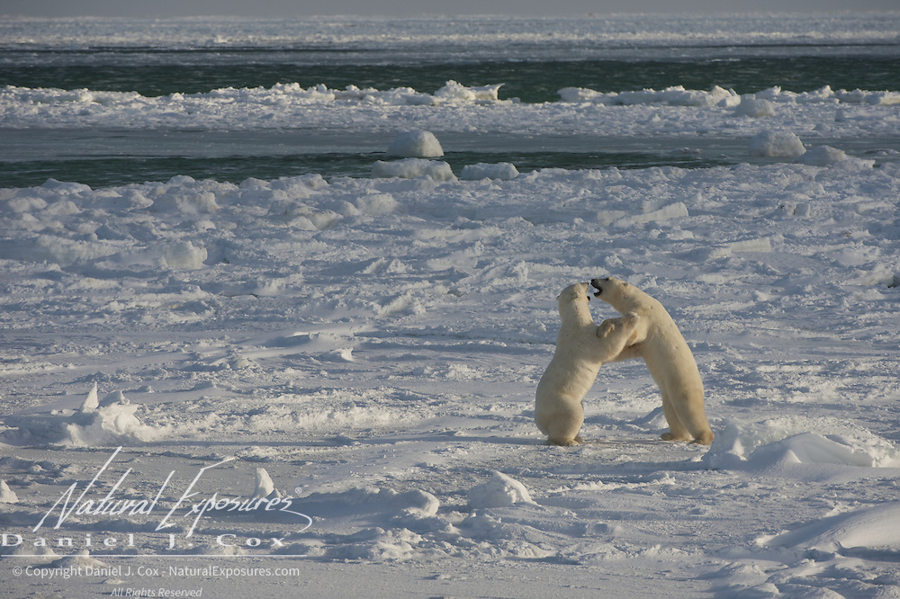 A pair of large males play fight on the newly forming ice of Hudson Bay, Cape Churchill, Manitoba.