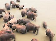 Elephant herd bathing in the river at the Pinnawela Elephant Orphanage, Kegalle, Sri Lanka