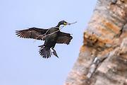 European Shag flying with a branch in it's beek, building nest | Toppskarv som flyr med en gren i nebbet, på vei for å bygge reir.