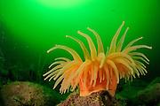 Sea Anemone (Actinostola chilensis) Comau Fjord, Patagonia, Chile | Etwa 30 Zentimeter im Durchmesser misst diese Seeanemone (Actinostola chilensis), die normalerweise in der Tiefsee lebt. Hier, im durch Algen grün gefärbten Wasser eines chilenischen Fjordes, findet das Tier ähnliche Lebensbedingungen und wächst daher in einer Tiefe von nur etwa 30 Metern. Comau Fjord, Patagonien, Chile