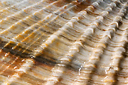 Close-up abstract image of a common piddock shell (Pholas dactylus) on Hunstanton beach, North Norfolk