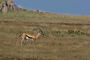 Thomson's gazelle, Serengeti National Park, Tanzania.