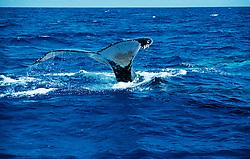 Megaptera novaeangliae,  Abtauchender Buckelwal, diving humpback whale, Tonga, Polynesien, Polynesia