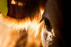 Close-up of young cow standing in morning sun in meadow