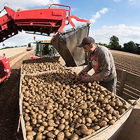 Potato Harvest, Bankfoot, Perth..20.09.16<br /> Valour Potatoes grown and harvested by J&E Smillie (Growers) Ltd; Ruthvenfield, Perth<br /> Picture by Graeme Hart.<br /> Copyright Perthshire Picture Agency<br /> Tel: 01738 623350  Mobile: 07990 594431