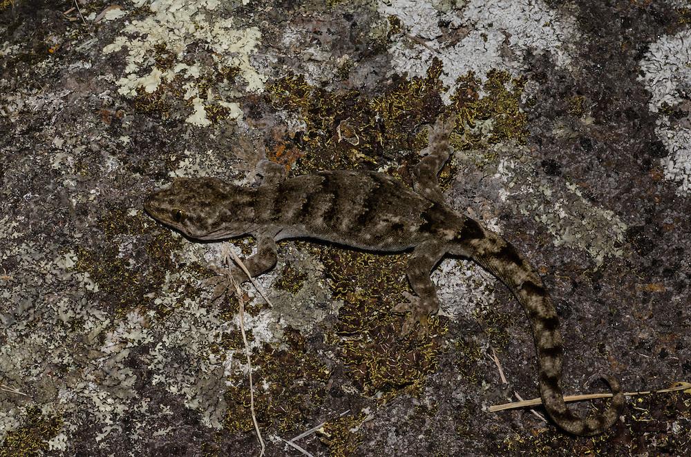 Canterbury/ Brown Gecko, Woodworthia brunneus