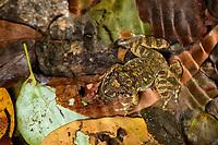 Hong Kong spiny frog (Quasipaa exilispinosa), Victoria Peak, Hong Kong, China. 小棘蛙,太平山,中国香港。
