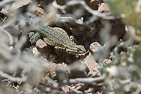Side-blotched lizard, Uta stansburiana, in Death Valley National Park, California