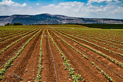 Agricultural field in Jezreel Valley, Israel