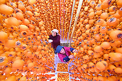 November 1, 2018 - Shandong, China - Villagers dry persimmons in Yuezhuang Town of Yiyuan County, Zibo City, east China's Shandong Province Autumn is the harvest season of persimmons in Yiyuan. The persimmon business has become a source to increase income for local farmers. (Credit Image: © Zhao Dongshan/Xinhua via ZUMA Wire)