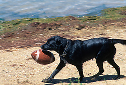 Wet dog retrieving a football