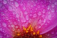 water drops on a dwarf dahlia flower center is seen in macro.
