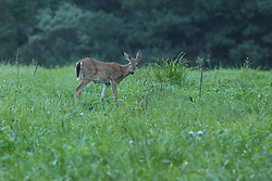 05 September 2015:   The white-tailed deer, also known as the whitetail, is a medium-sized deer native to the United States<br /> <br /> Scientific name: Odocoileus virginianus<br /> <br /> Dawson Lake located in Moraine View State Park maintained by the Illinois Department of Natural Resources (IDNR) near Le Roy Illinois