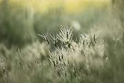 ovate goatgrass (Aegilops ovata) Photographed in Israel in April